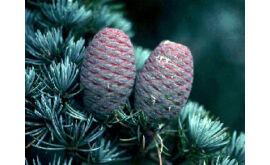 Kék Cédrus termése